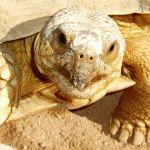 African Spurred Tortoise by Alexey Krapukhin